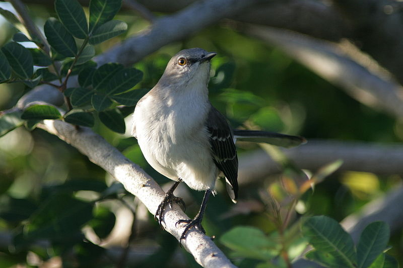 800px-Northern_Mockingbird-25252C_Loxahatchee