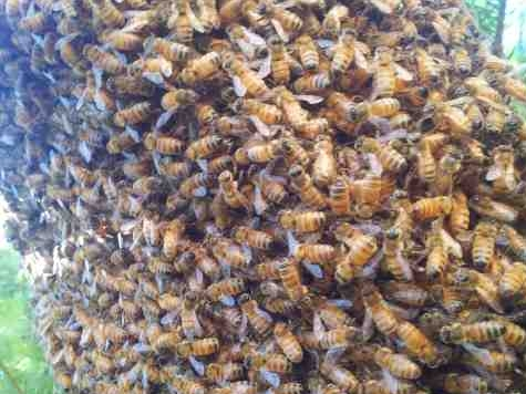 Swarming European honey bees in Central California.  Photo by Ryan Fry
