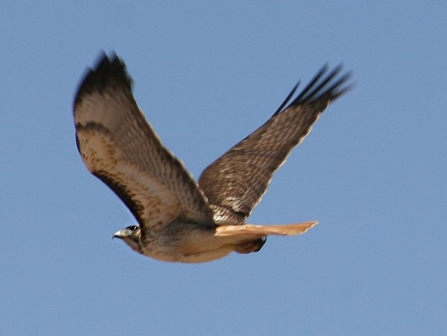 By Brent Myers (Flickr: Red Tailed Hawk) [CC BY 2.0 (http://creativecommons.org/licenses/by/2.0)], via Wikimedia Commons