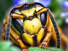 Face_of_a_Southern_Yellowjacket_Queen_-Vespula_squamosa-