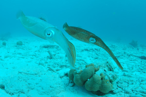 Two_Caribbean_Reef_Squid,_Bonaire,_Dutch_Antilles