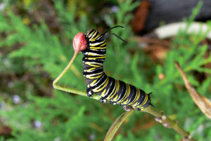 Monarch_caterpillar_1