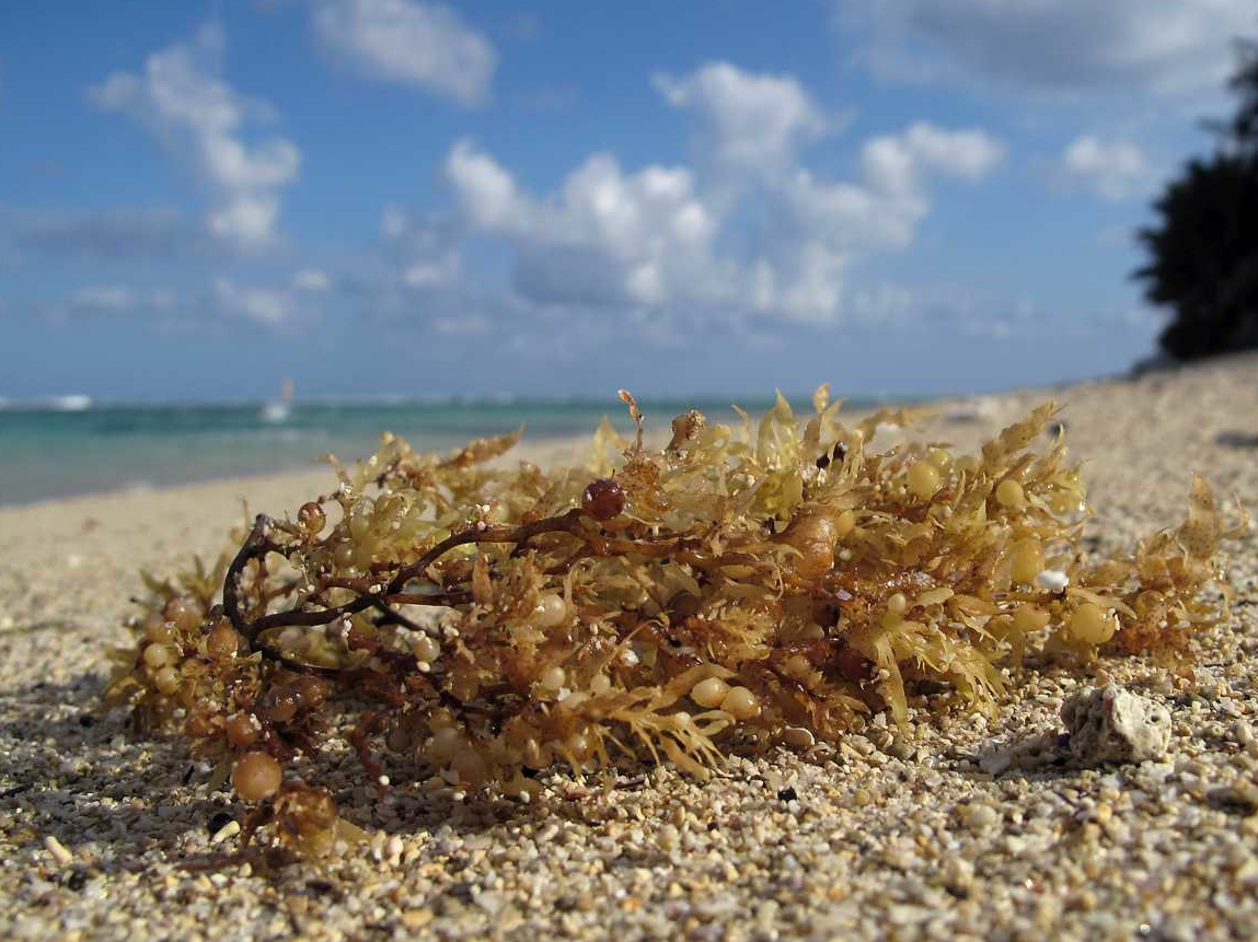 The Journey of the Sargassum