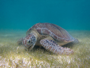 Beaches_1024px-Green_Sea_Turtle_grazing_seagrass