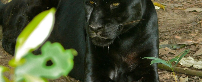 By Bernard DUPONT from FRANCE (Black Jaguar (Panthera onca)) [CC BY-SA 2.0 (http://creativecommons.org/licenses/by-sa/2.0)], via Wikimedia Commons