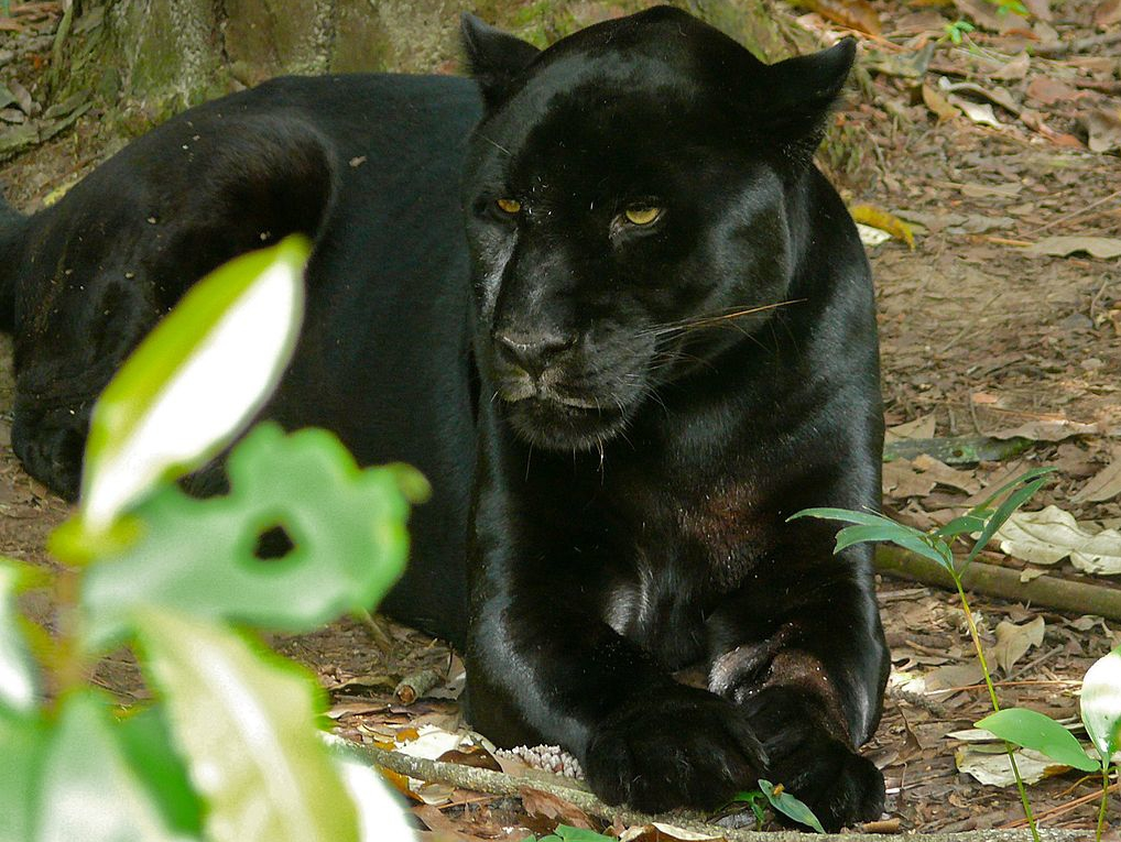 Black Jaguars and Colored Marbles