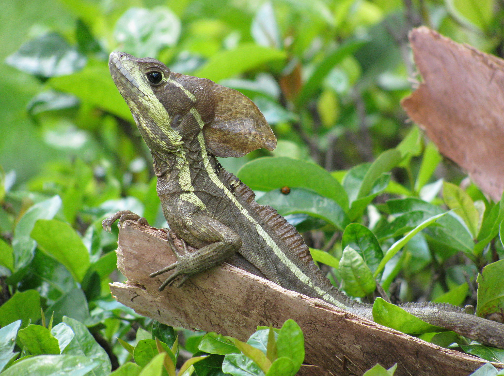 nature essays the jesus christ lizard
